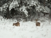 Rådjur, European roe deer, Capreolus capreolus