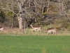 Dovhjort, Fallow deer, Dama dama
