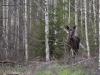 Älg, Moose, Alces alces