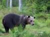 Brunbjörn, Brown bear, Ursus arctos