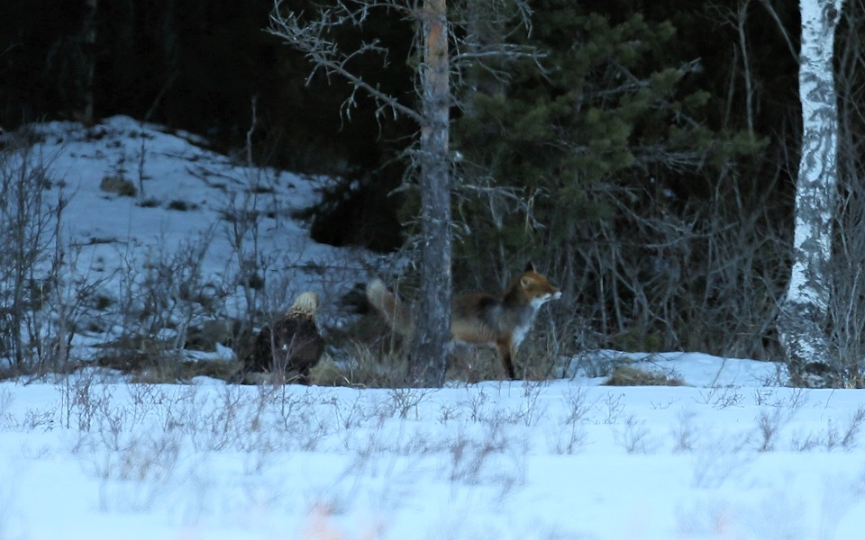 Kungsörn, Räv, Golden Eagle, Fox, Aquila chrysaetos, Vulpes vulpes