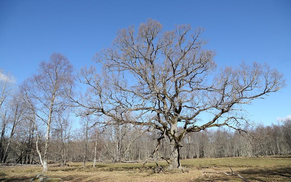Ek, Oak, Quercus robur