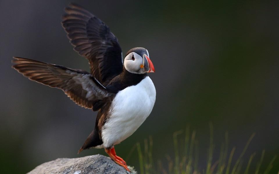 Lunnefågel, Puffin, Fratercula arctica