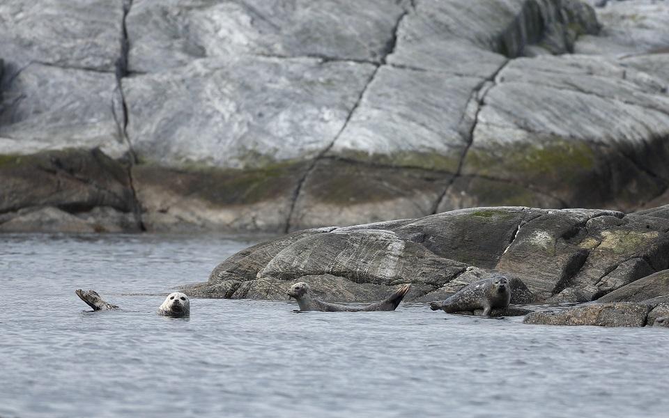 Gråsäl, Grey seal, Halichoerus grypus