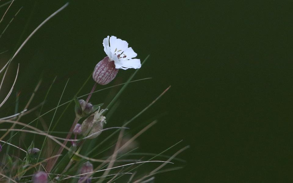 Strandglim, Sea campion, Silene uniflora