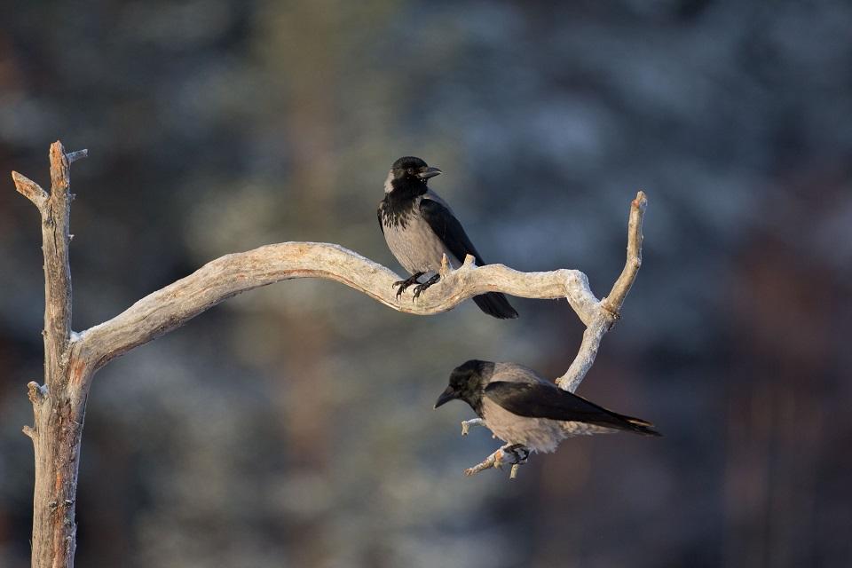Kråka, Hooded crow, Corvus cornix