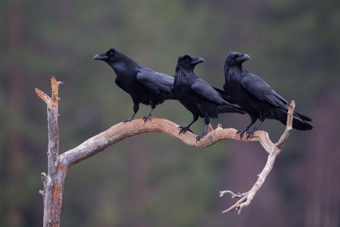Korp, Raven, Corvus corax
