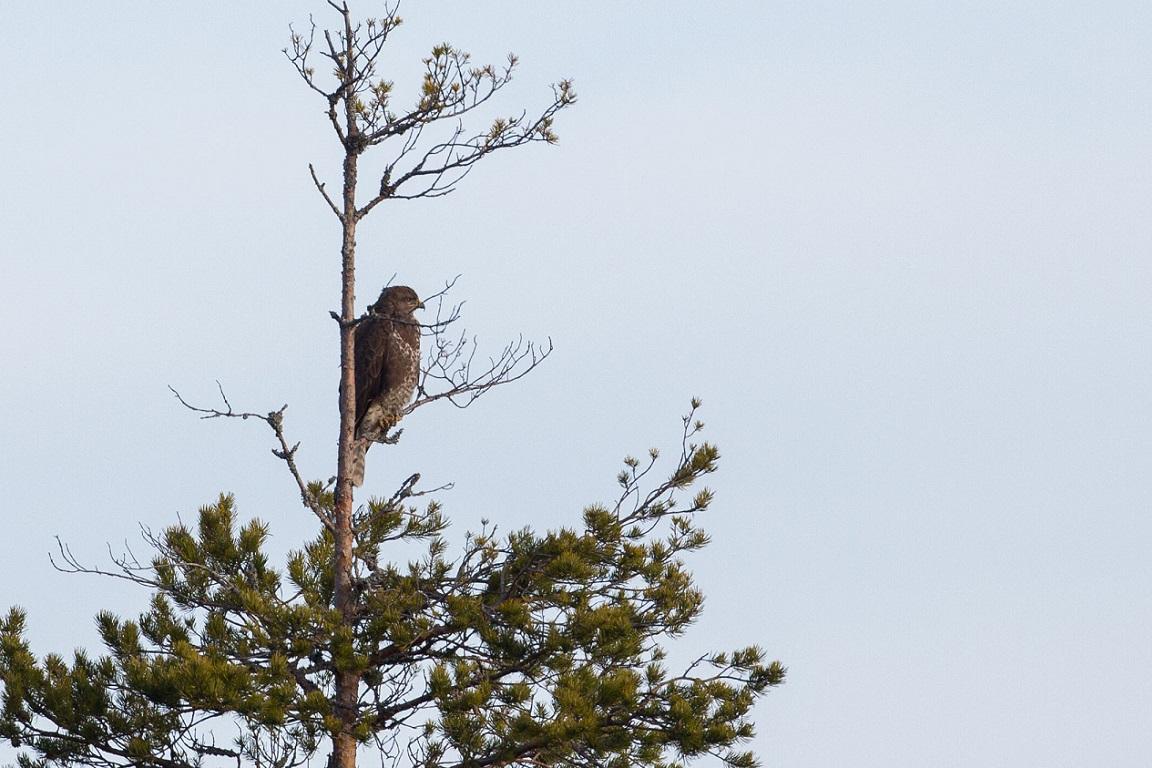 Ormvråk, Common Buzzard, Buteo buteo