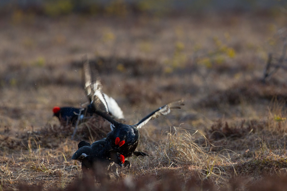Orre, Black Grouse, Lyrurus tetrix