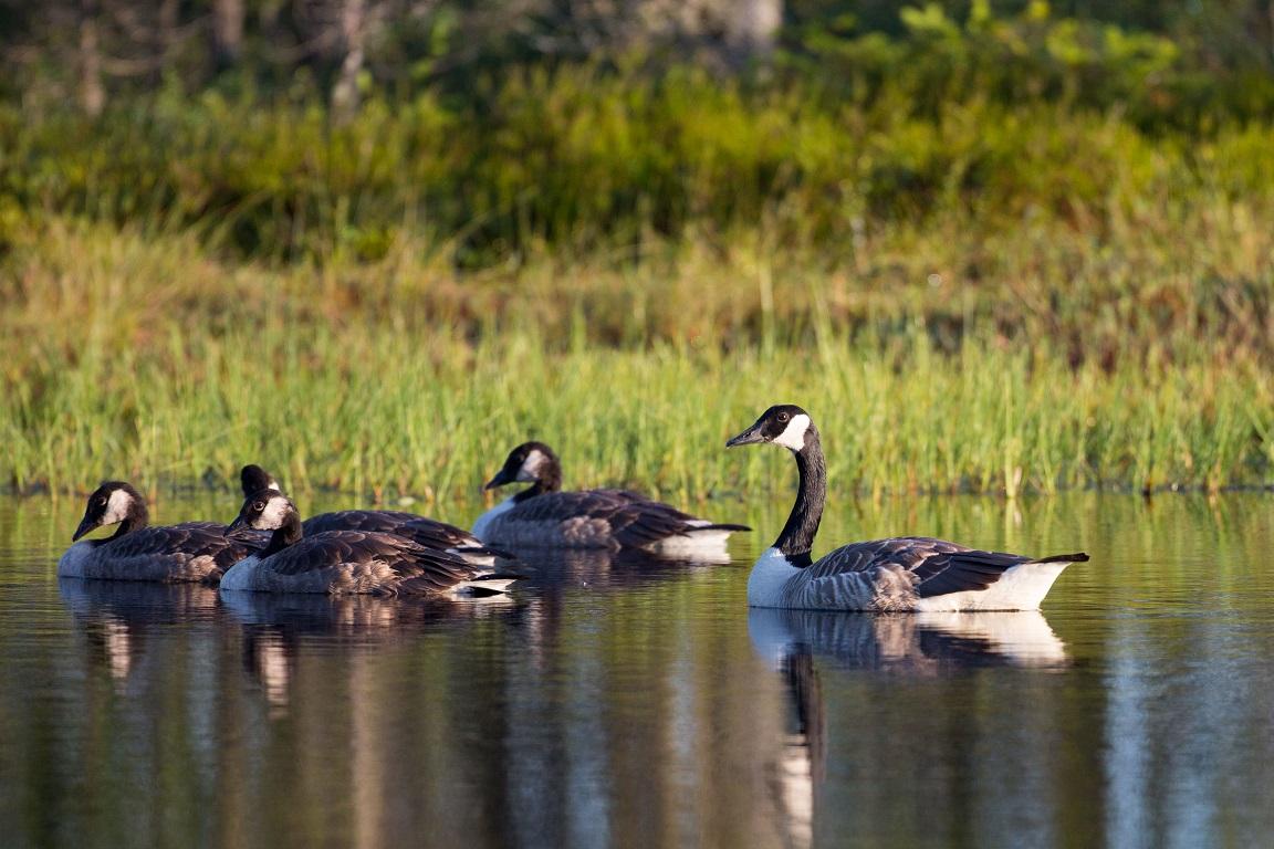 Kanadagås, Canada Goose, Branta canadensis