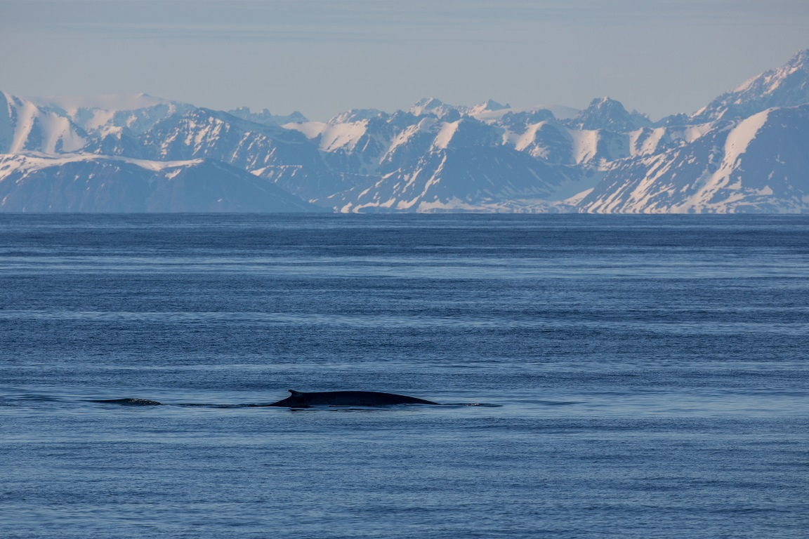 Sillval, Fin whale, Balaenoptera physalus