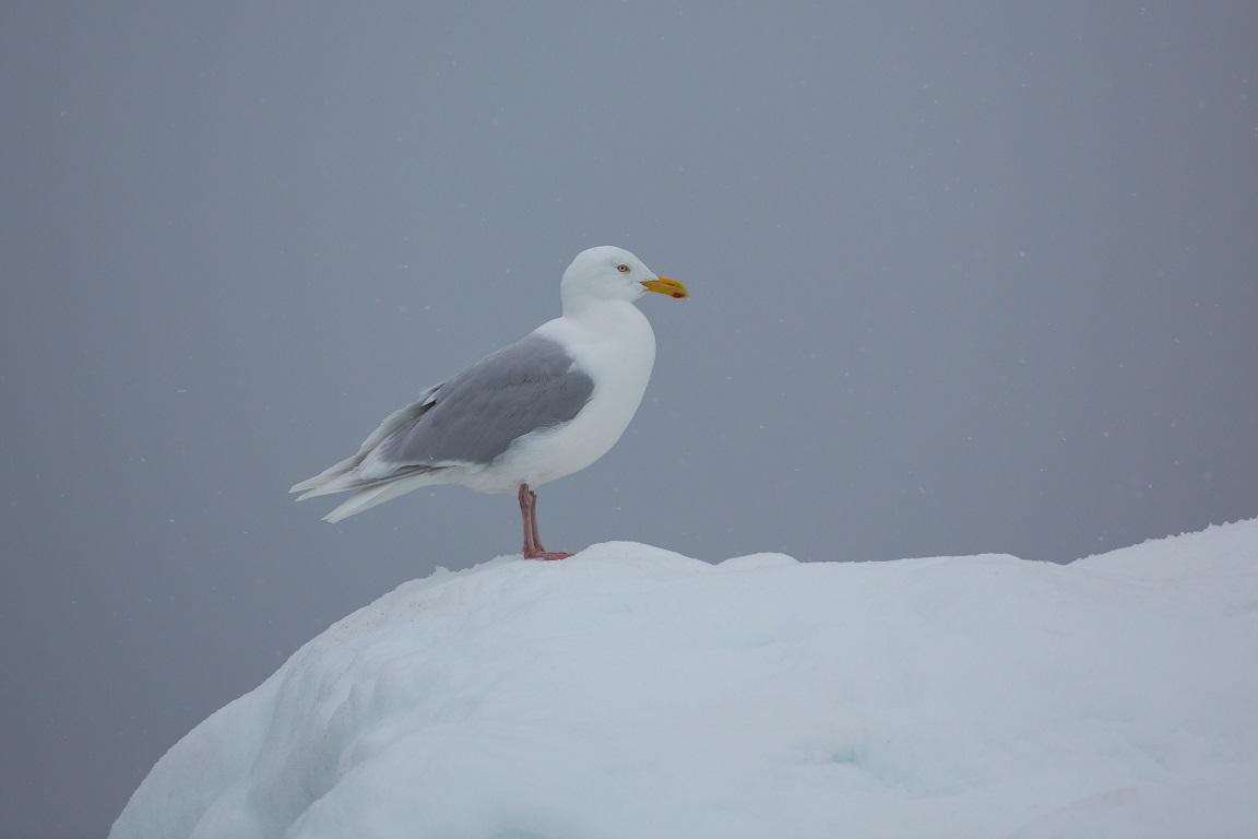 Vittrut, Glaucous gull, Larus hyperboreus