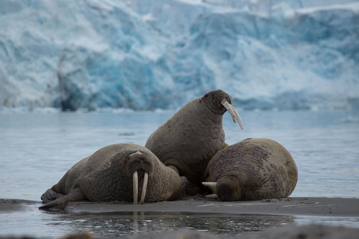 Valross, Walrus, Odobenus rosmarus