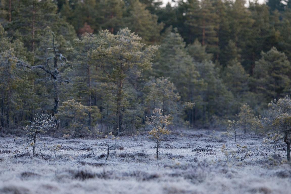 Jag tittar ut över en frostbelagd myr utan orrar