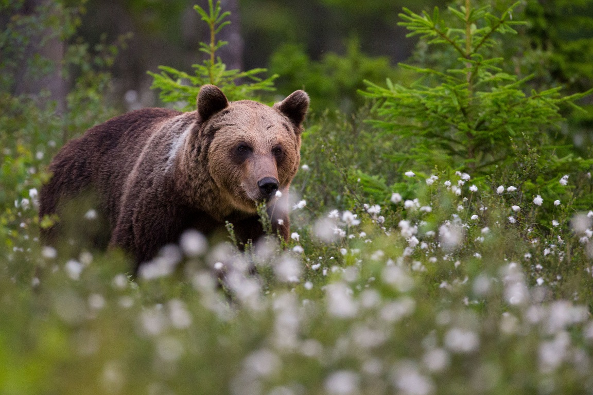 Brunbjörn, Brown bear, Ursus arctos