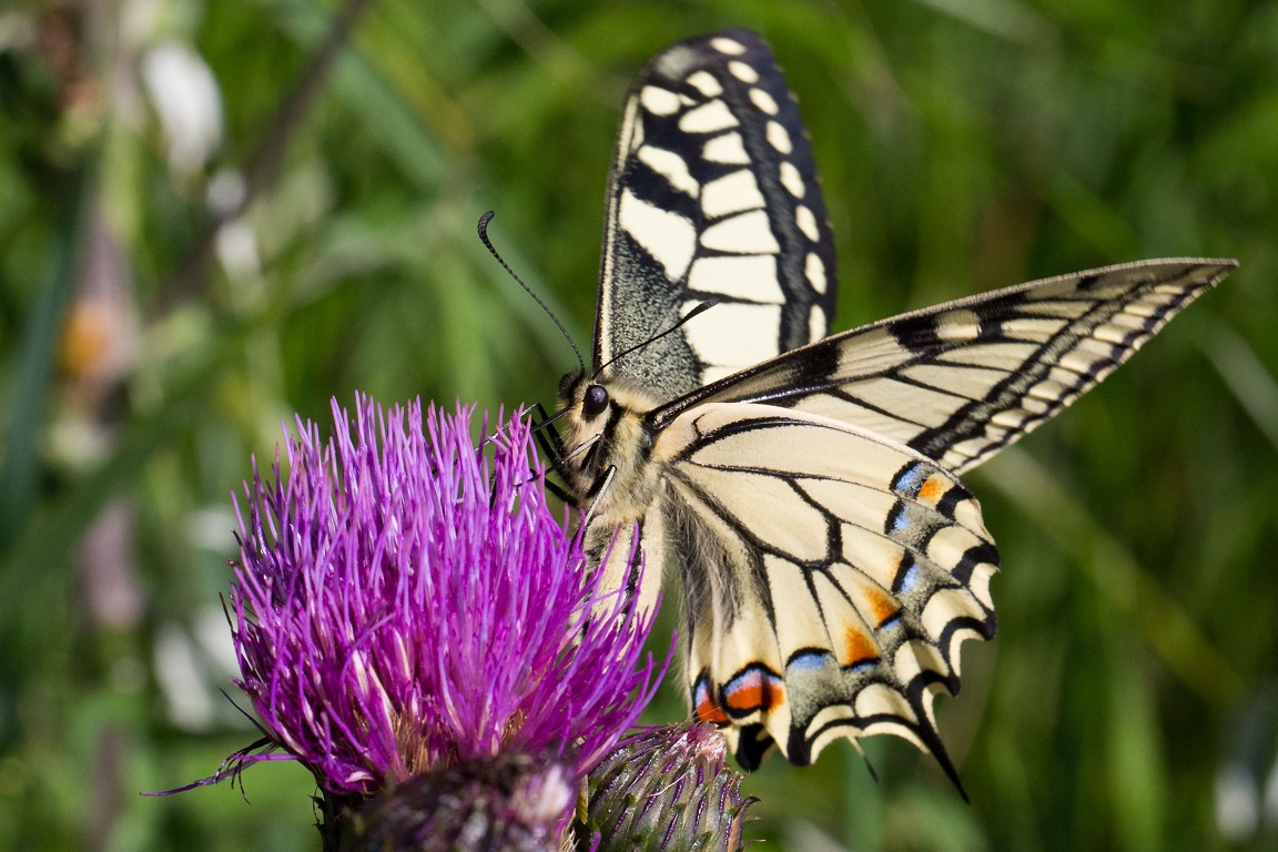 Makaonfjäril, Old World Swallowtail, Papilio machaon