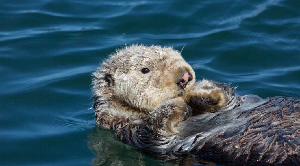 Havsutter, Sea otter, Enhydra lutris