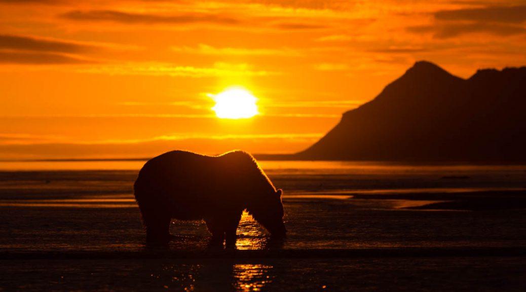 Björn i soluppgång
