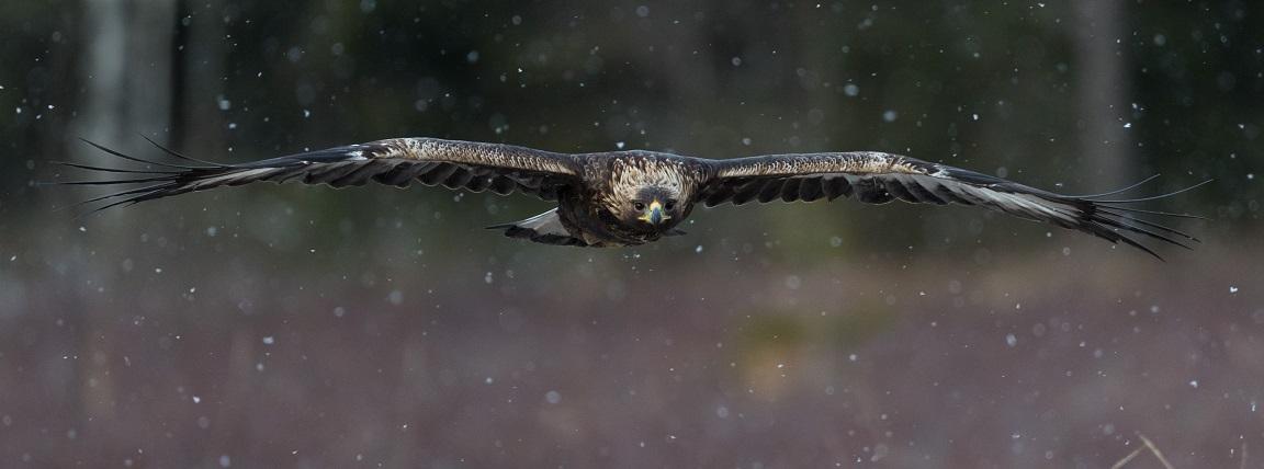 En betydligt yngre örn flyger in