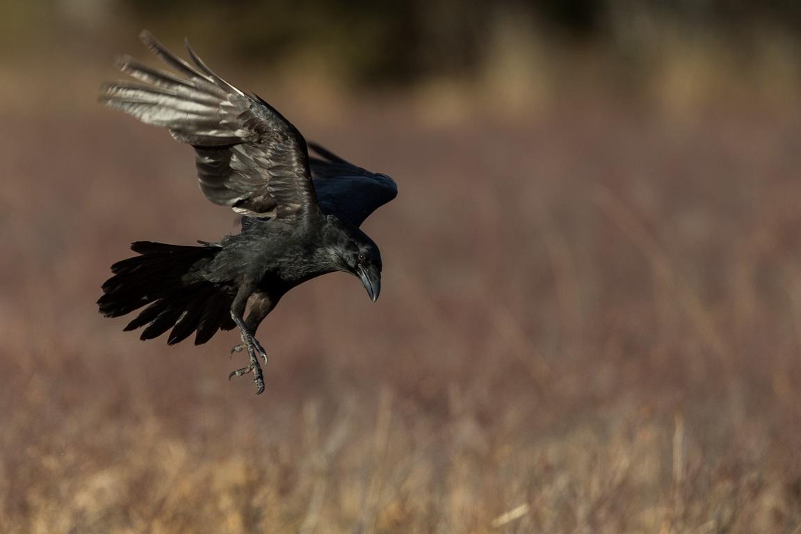 Studtsande fågel