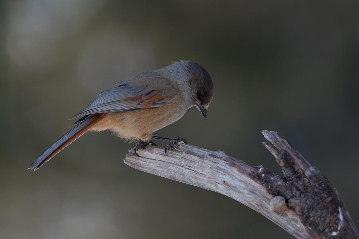 Lavskrikan, en vacker kråkfågel