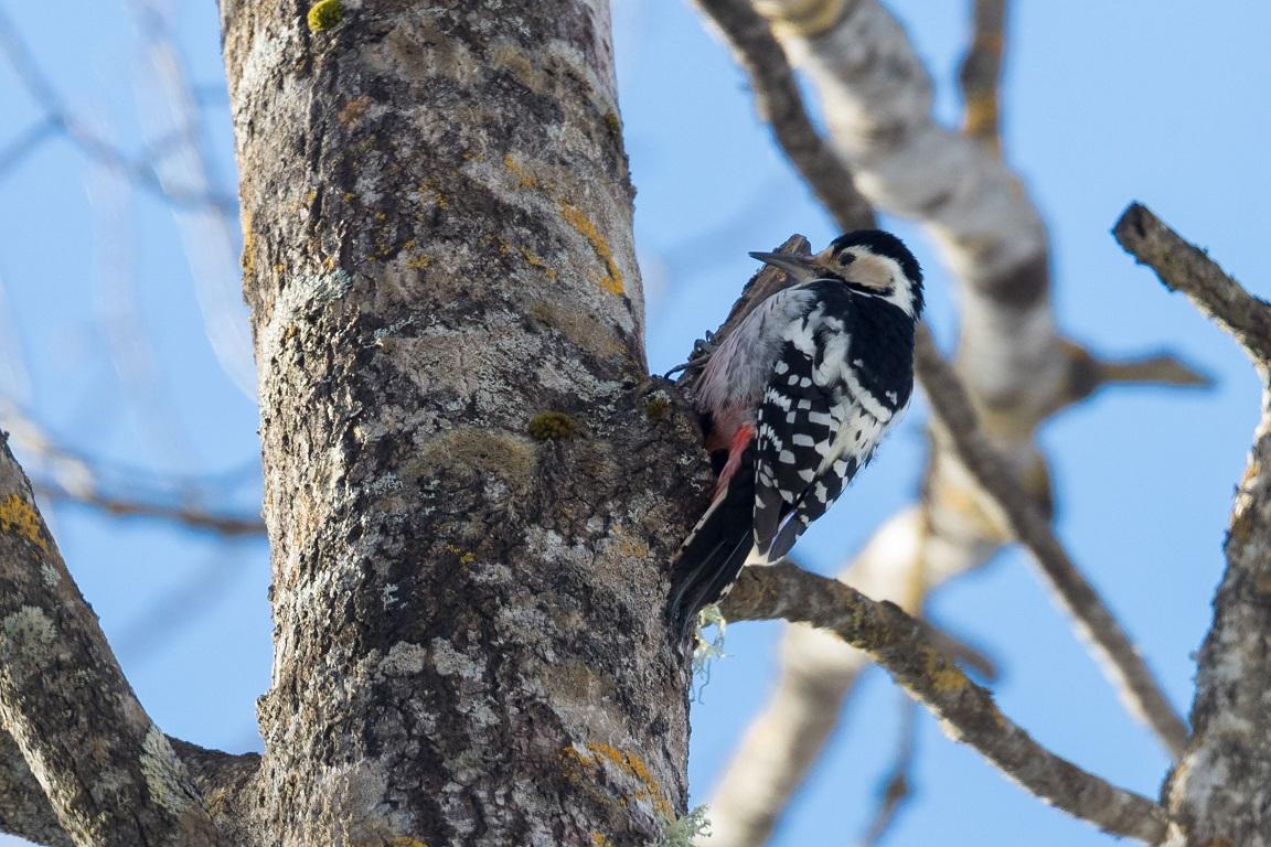 Vitryggig hackspett, White-backed Woodpecker, Dendrocopos leucotos