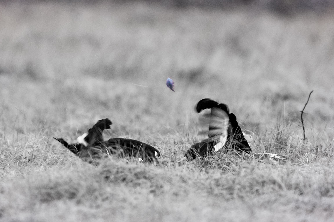 Den flygande fjädern