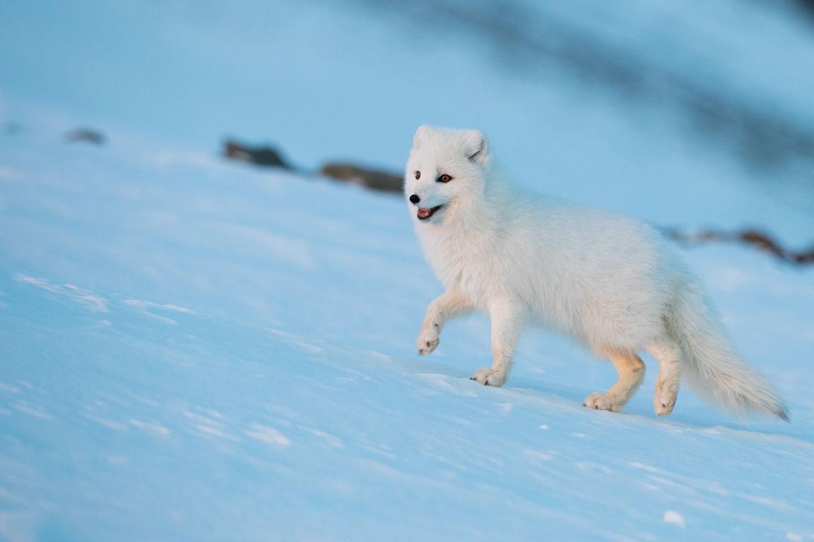 Fin räv i vinterpäls