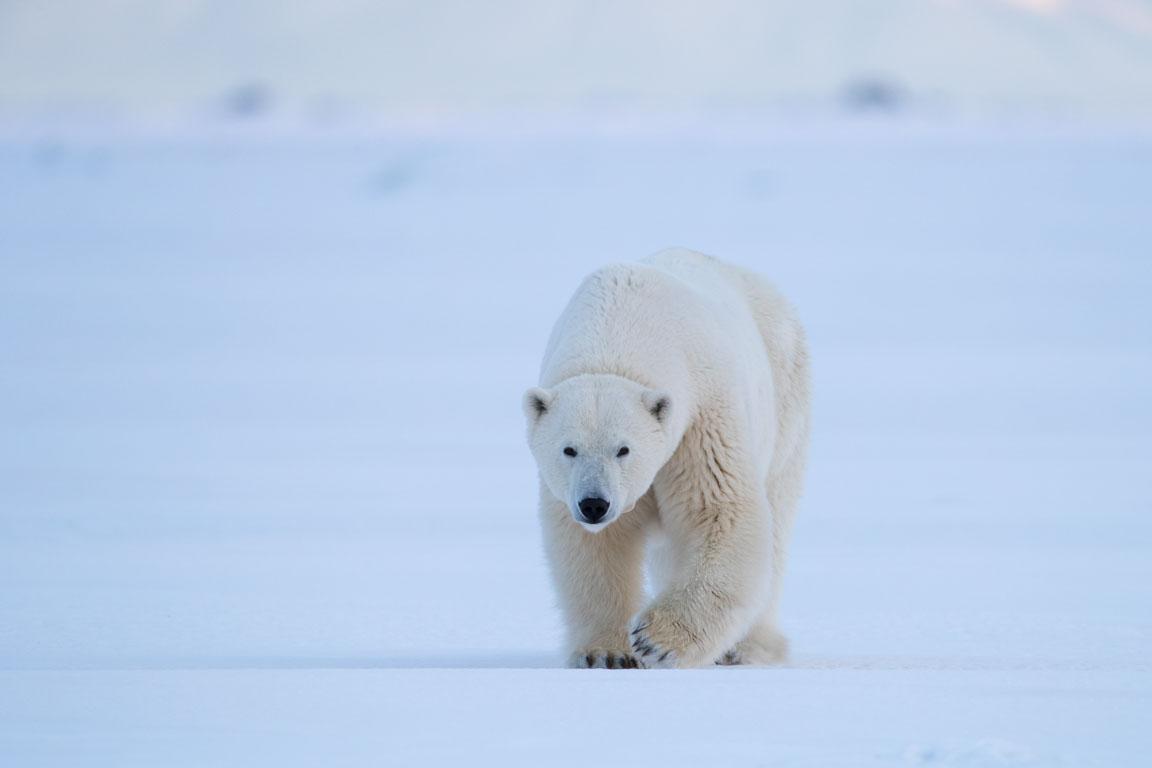 Isbjörnshona