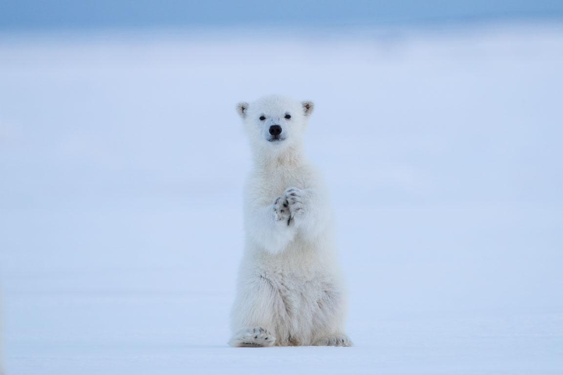 Isbjörnsunge på bakbenen för att se vad vi är för ena