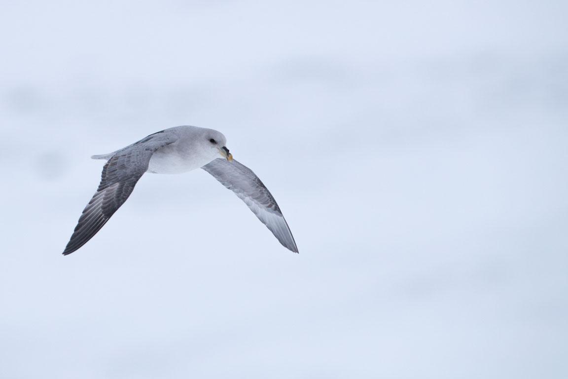 Lågflygande stormfågel