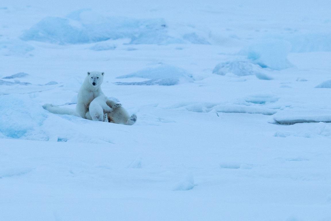 Även isbjörnsungar behöver mat