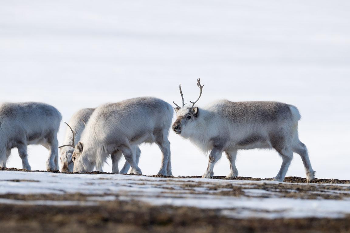 Svalbardsren, Svalbard reindeer, Rangifer tarandus platyrhynchus
