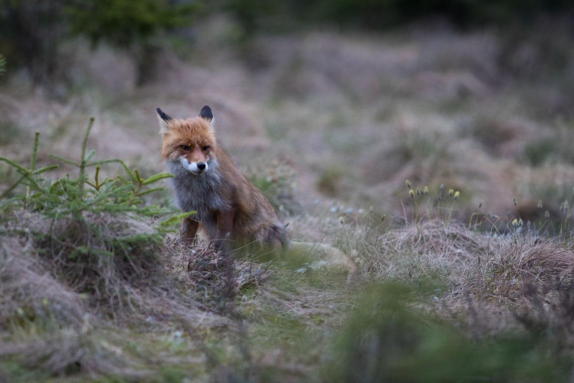 Rödräv, Fox, Vulpes vulpes