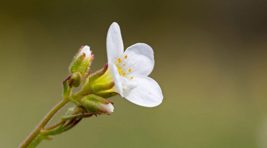 Mandelblom, Meadow saxifrage, Saxifraga granulata