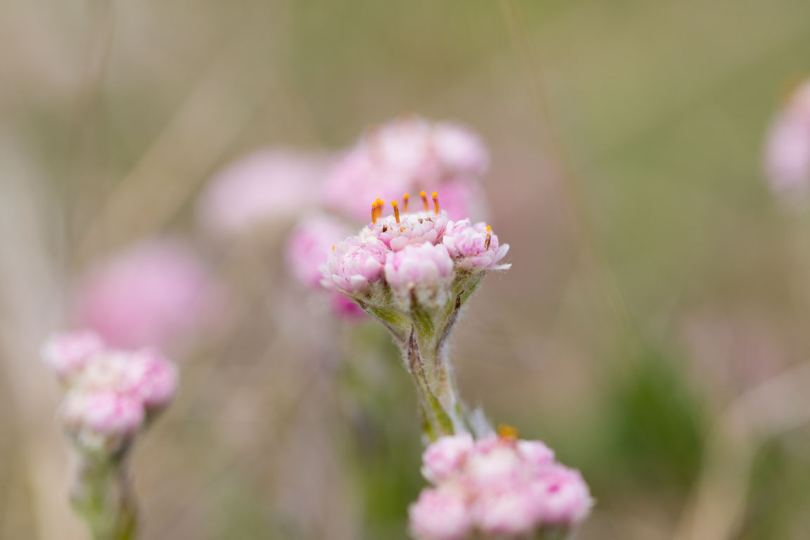 Kattfot, Mountain Everlasting, Antennaria dioica