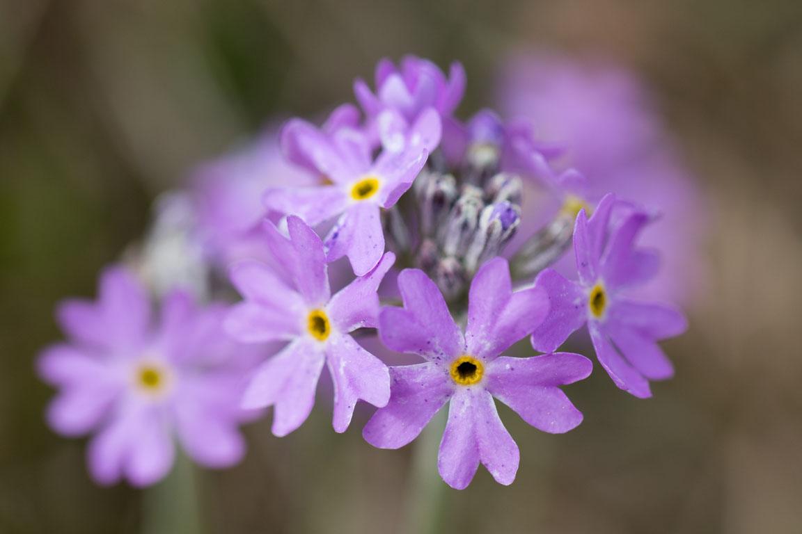 Majviva, Birds eye primrose, Primula farinosa