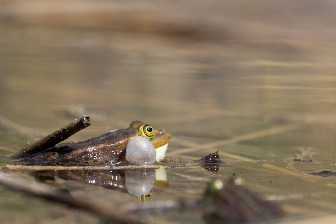 Gölgroda, Pool frog, Pelophylax lessonae