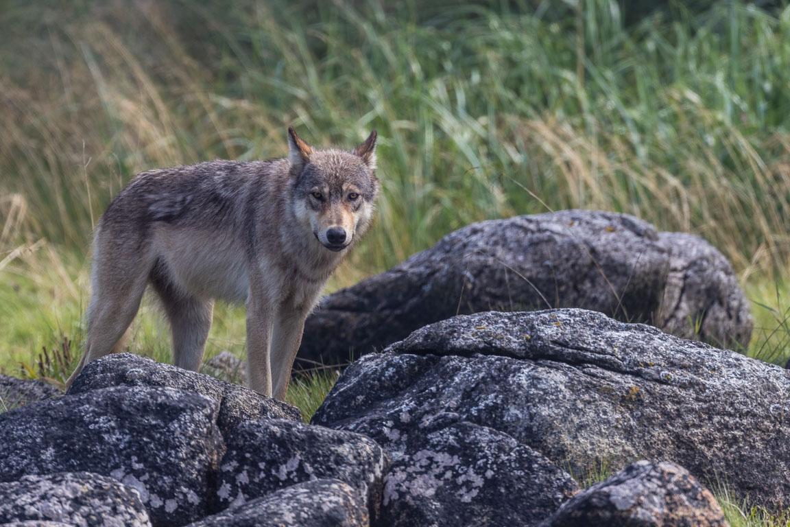 Kustvarg, Coastal wolf, Canis lupus columbianus