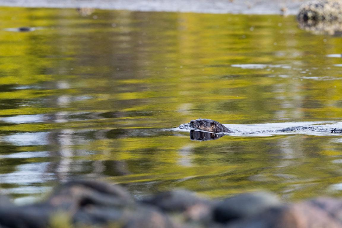 Flodutter, River otter, Lontra canadensis