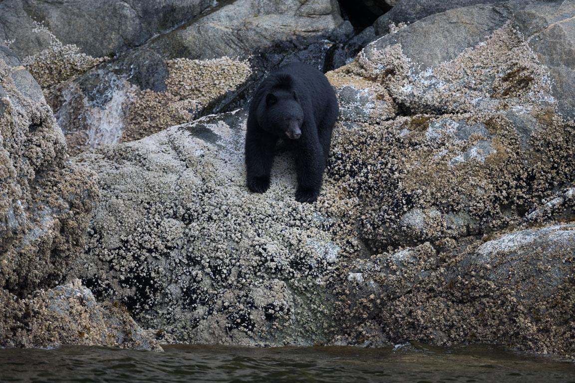 Svartbjörn födosöker