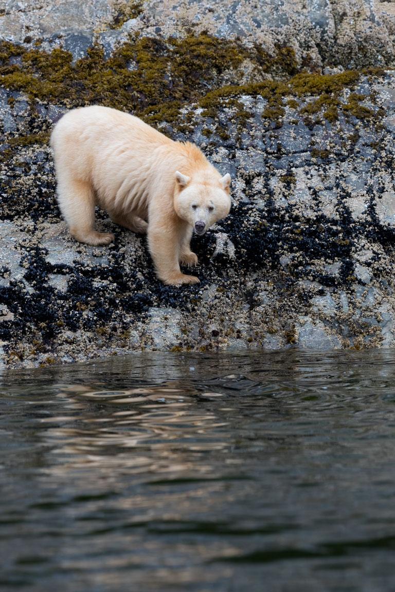 Ingen risk att ta fel på isbjörn