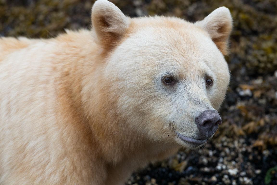 Porträtt på den vita björnen