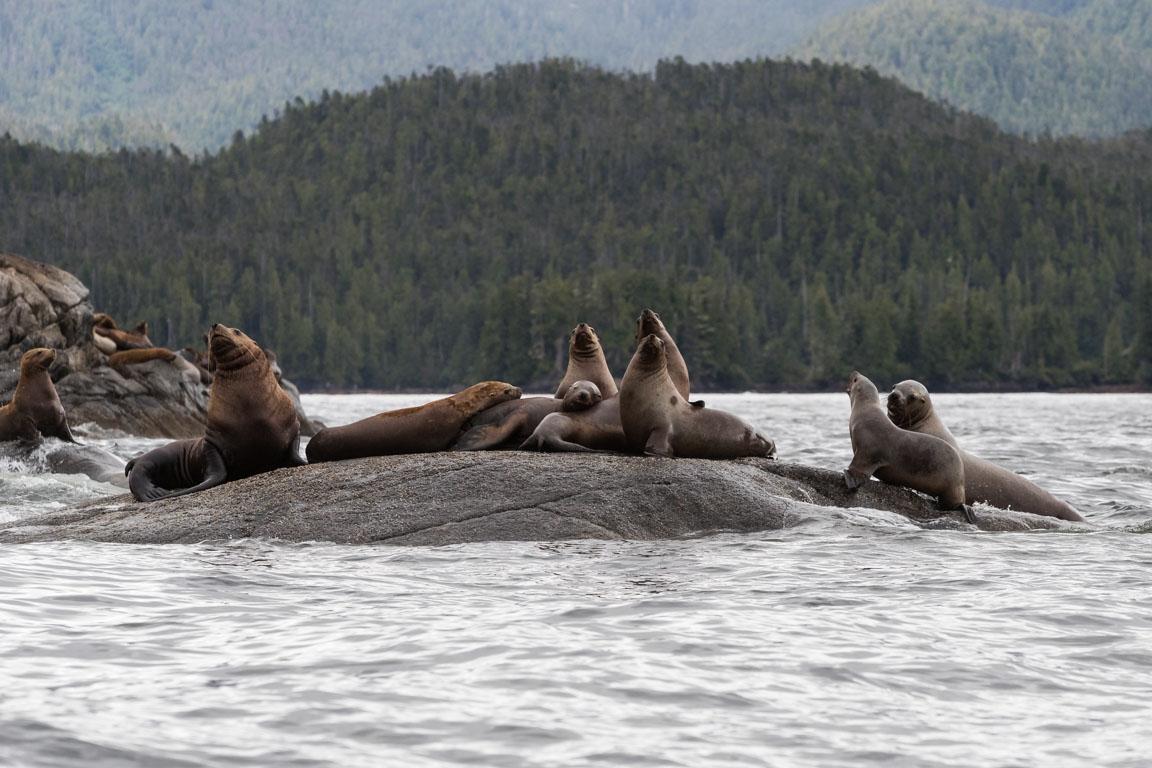 Stellers sjölejon, Steller Sea Lion, Eumetopias jubatus