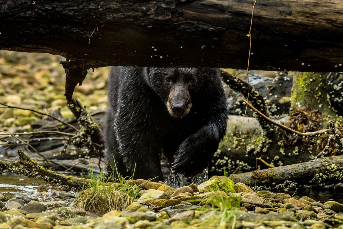 Vacker björn