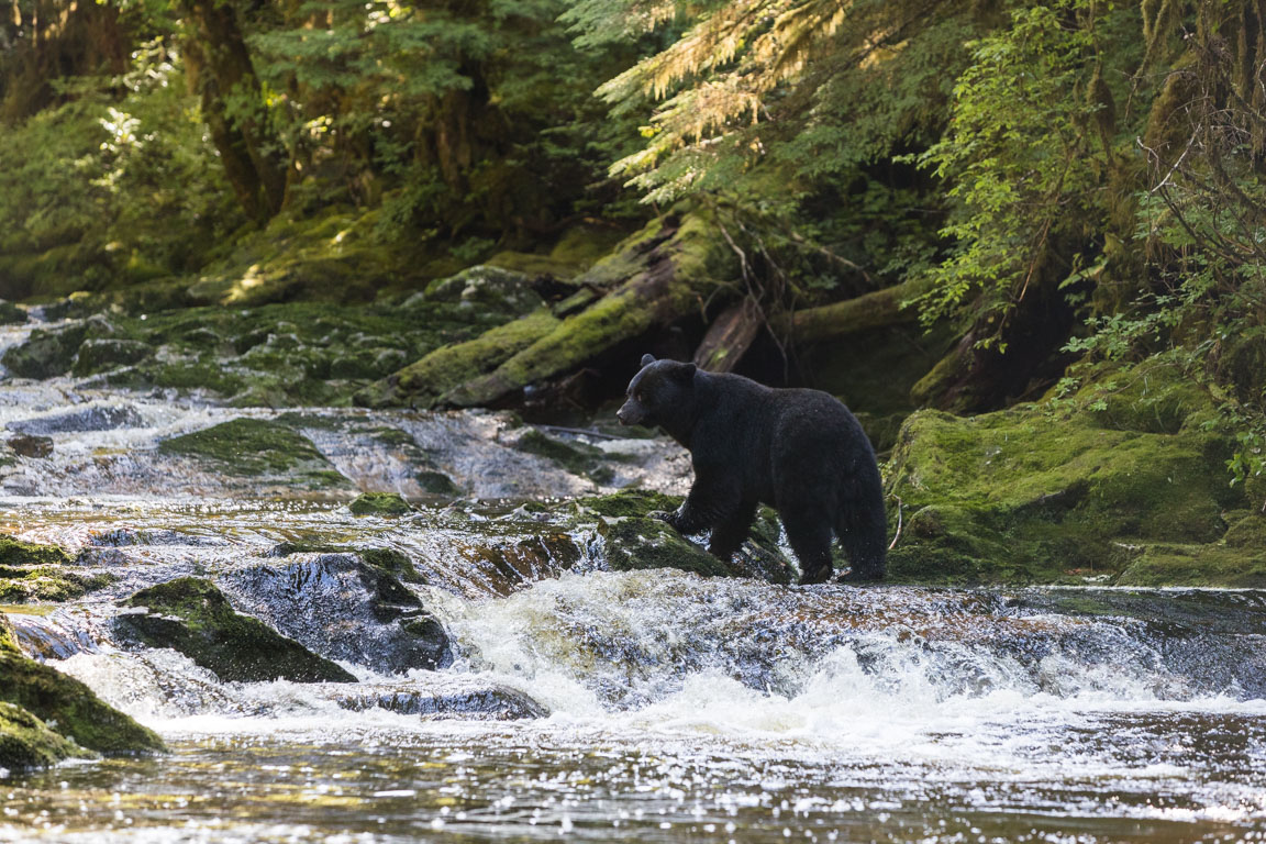 Hungrig björn