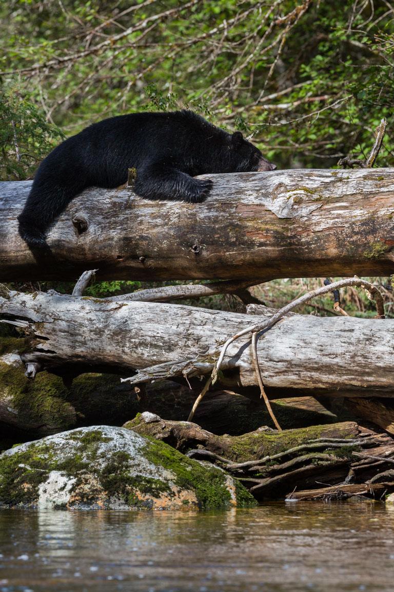 Avslappnad björn