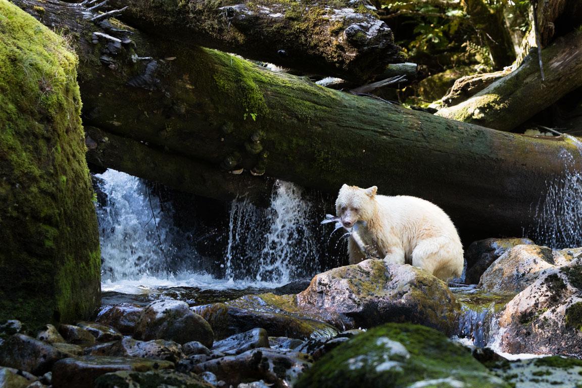 Spirit bear med lax