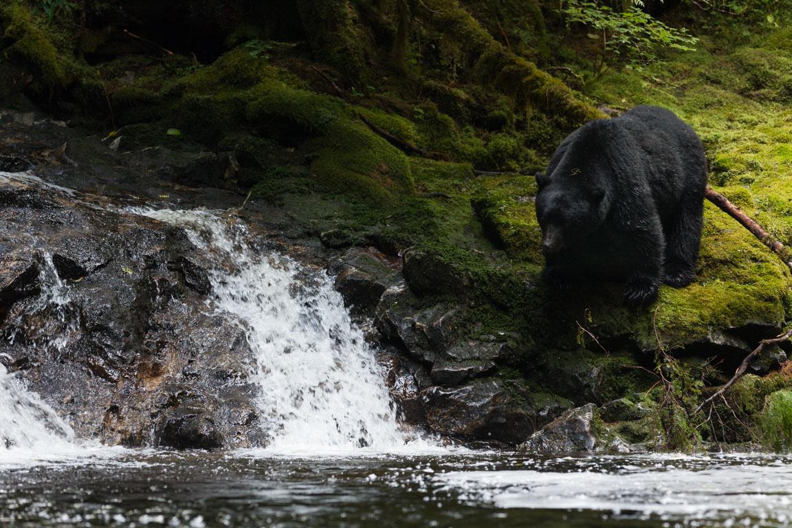 Fiskande svartbjörn