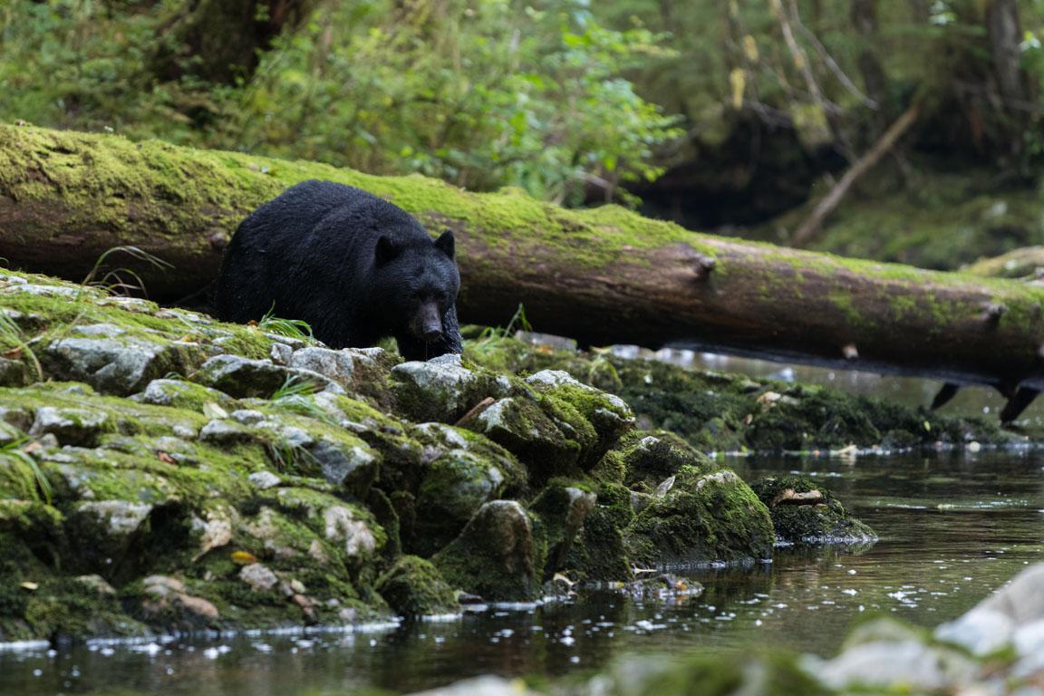 Sista svartbjörnen